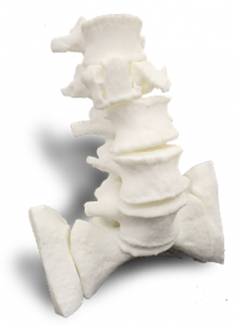 Anatomical model - spine (material: Nylon-12)